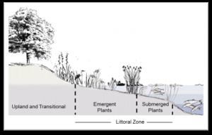 Littoral Zone Illustration